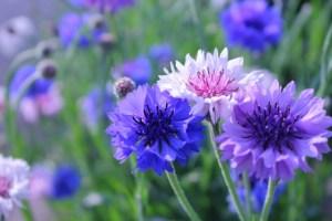 矢車菊の花