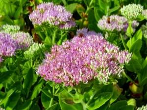 星型の小さな花が集まって咲くオオベンケイソウ