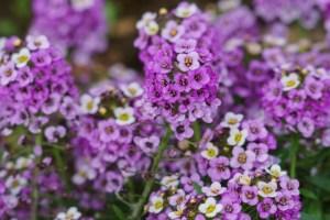 小さな花がかわいいスイートアリッサム
