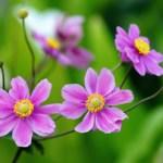 シュウメイギク(秋明菊 Japanese anemone)の特徴と花言葉