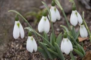 早春を告げるスノードロップ