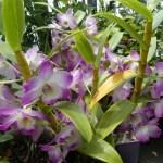 デンドロビウム(Dendrobium)の特徴と花言葉