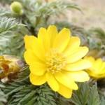 フクジュソウ(福寿草)の特徴と花言葉