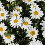 恋占いの花!マーガレット(marguret)の特徴と花言葉