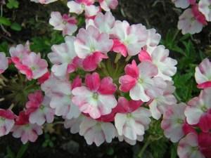バーベナの特徴と花言葉