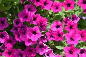 ペチュニアの特徴と花言葉