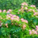 ネムノキ(合歓木 Silk tree)の特徴と育て方や花言葉 誕生花
