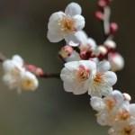梅(Japanese apricot)の特徴と育て方や花言葉 誕生花
