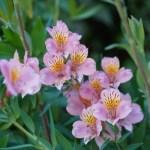 エキゾチックで華やかなアルストロメリア(Alstroemeria)の特徴と育て方や花言葉