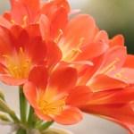 高貴な花クンシラン(君子蘭 Clivia)の特徴と育て方や花言葉
