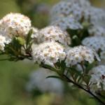 まるで花の手毬!コデマリ(小手毬 Reeves spirea)の特徴と育て方や花言葉