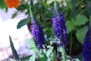 ベロニカの特徴と育て方や花言葉