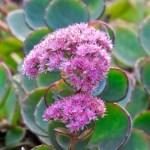 肉厚の葉にピンクの小花がかわいいミセバヤ(October daphne)の特徴と育て方や花言葉 誕生花