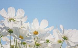 白いコスモスの画像-03