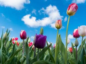 チューリップ、Tulip