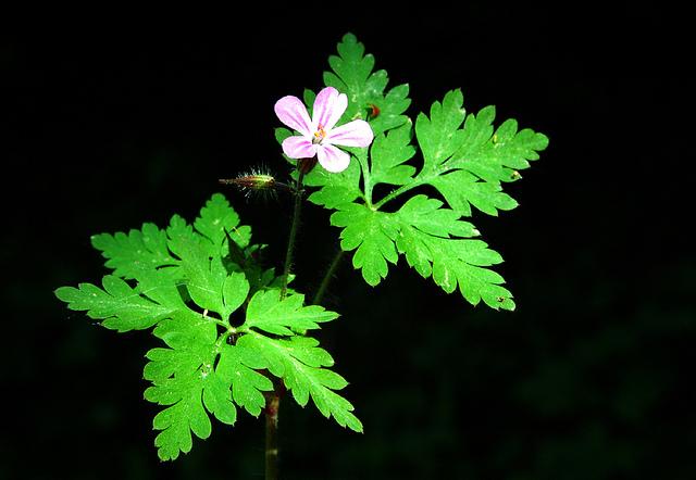 フクロソウ科、Geraniaceae