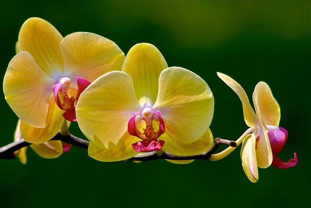 蘭、Orchid