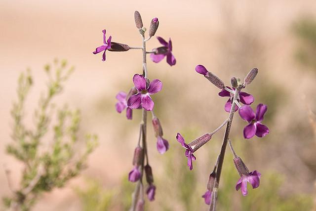 アブラナ科、Brassicaceae