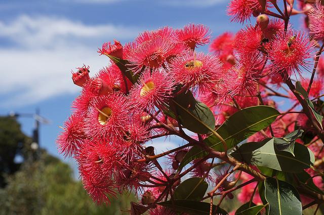フトモモ科、Myrtaceae