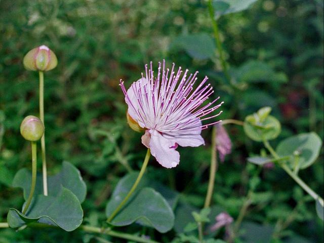 フウチョウソウ科、Capparaceae