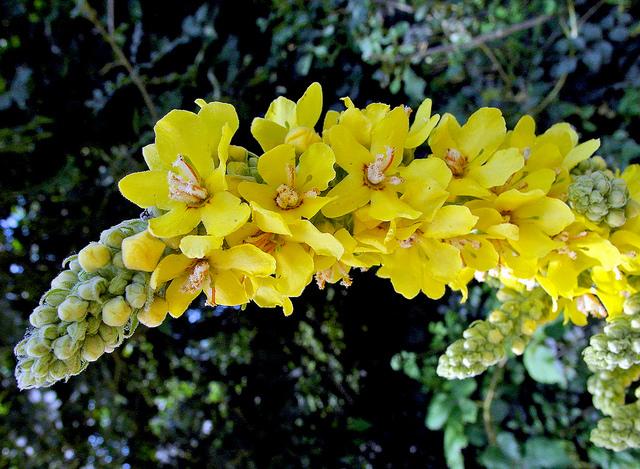 ゴマノハグサ科、Scrophulariaceae