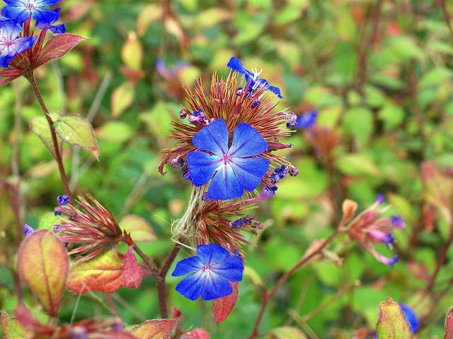 イソマツ科、Plumbaginaceae