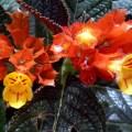 イワタバコ科, Gesneriaceae