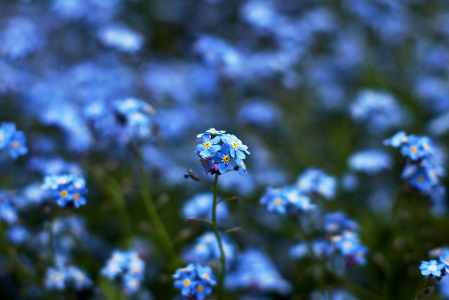 勿忘草、Forget-me-not