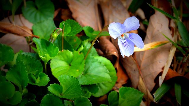 菫、Violet