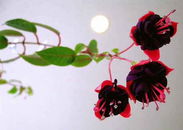 アカバナ科、Onagraceae