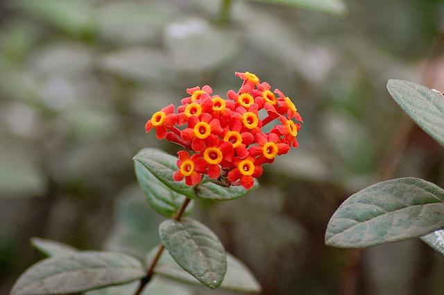 アカネ科、Rubiaceae
