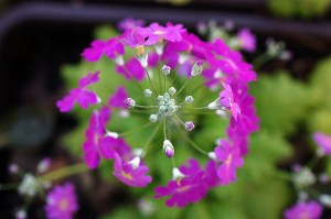 サクラソウ、Japanese primrose