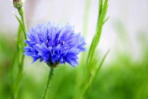 ヤグルマギク、Cornflower