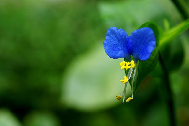 ツユクサ、Dayflower