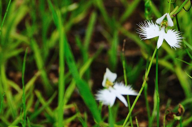 サギソウ、White egret flower