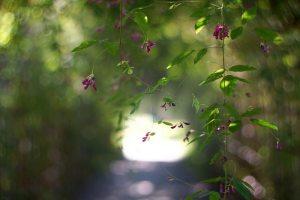 萩、Bush clover