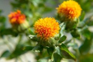 紅花、Safflower