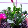 シャコバサボテン、Christmas cactus