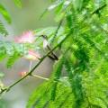 ネムノキ、Silk tree