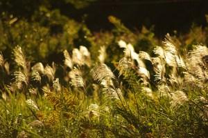 ススキ、Silver grass