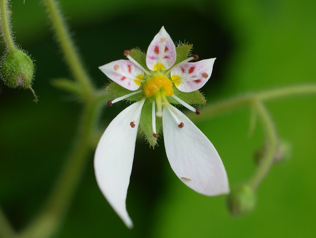 ユキノシタ、Strawberry Saxifrage