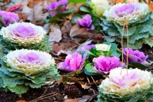 ハボタン、Flowering kale