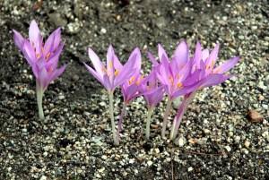 コルチカム、Meadow saffron