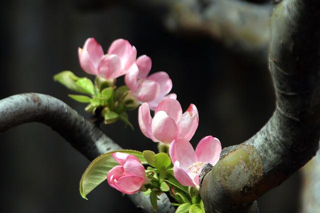 花梨、Chinese quince