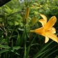 ニッコウキスゲ、Broad dwarf day lily