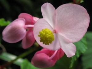 Hardy begonia-03