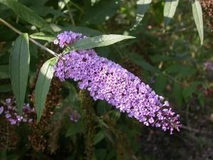 Butterfly bush-01