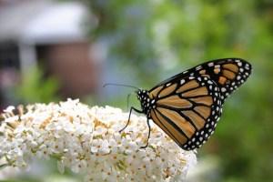 Butterfly bush-03