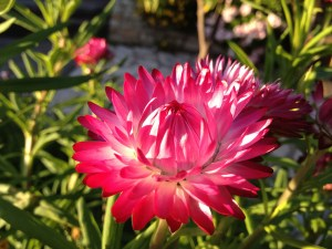 Strawflower-01