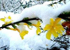 Winter jasmine-03
